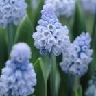 葡萄風信子 Azureum 天藍